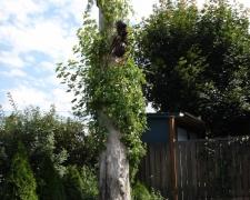 Carpenter Ant Tree
